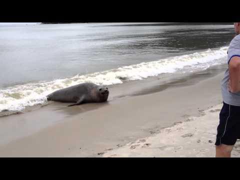 Бразилия: Морской лев прогулялся по городу