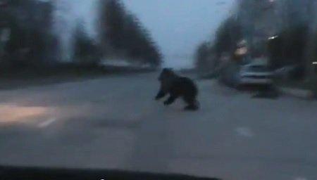 medved v gorode