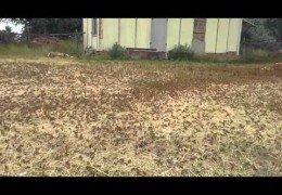 Нашествие агрессивной саранчи в России: Насекомые уничтожают все посевы